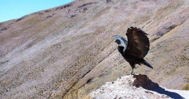 Cóndor fue liberado en la Cuesta de Lipán