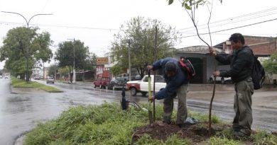 Reponen ejemplares de ceibo en avenida Corrientes